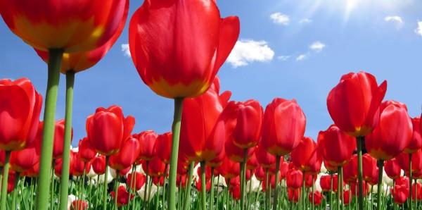 Magnettafel Pinnwand XXL Magnetbild Tulpen Blumen rot
