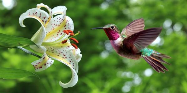 Magnettafel Pinnwand Bild XXL Panorama Kolibri Lilie