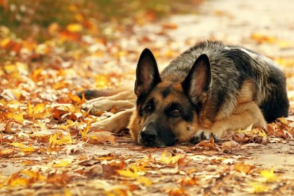 Magnettafel Pinnwand XXL Bild Hund Schäferhund treuer Freund