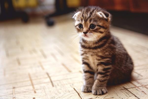 Magnettafel Pinnwand XXL Bild Katze Schottische Faltohrkatze