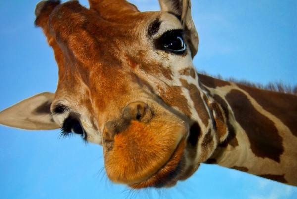 Magnettafel Pinnwand XXL Magnetbild Giraffe Hello