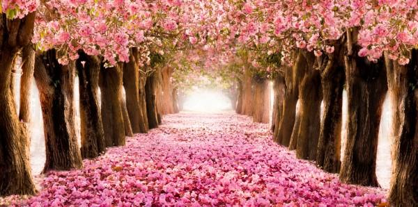 Magnettafel Pinnwand Bild XXL Panorama Allee rosa Blüten