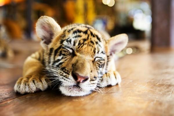 Magnettafel Pinnwand XXL Bild Tiger Baby
