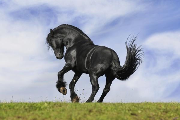 Magnettafel Pinnwand Magnetbild Friese Pferd