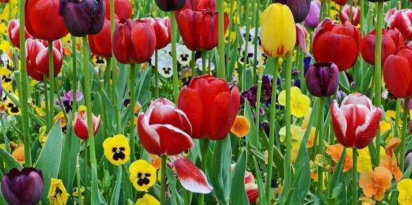 Magnettafel Pinnwand Bild XXL Panorama Tulpen Blüte bunt