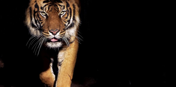 Magnettafel Pinnwand Bild XXL Panorama Tiger Raubkatze