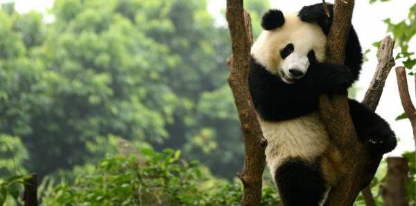 Magnettafel Pinnwand Bild XXL Panorama Panda Pandabär