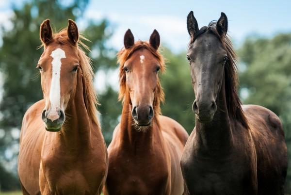 Magnettafel Pinnwand Bild Pferde Pferd Brauner Rappe