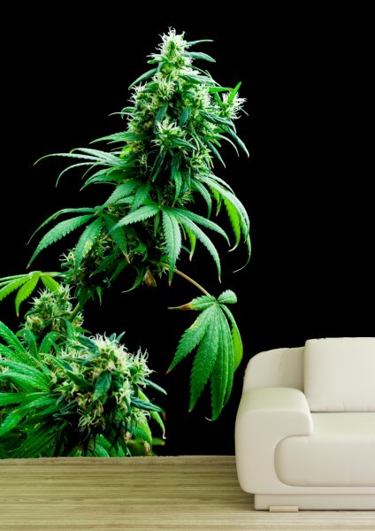Poster Fototapete Cannabis