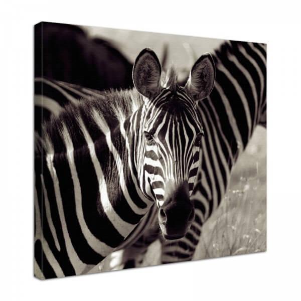 Leinwand Bild edel Tiere Zebra