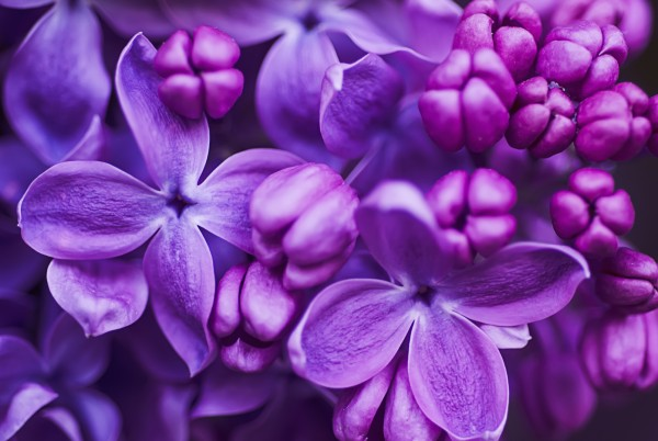 Magnettafel Pinnwand XXL Bild Fliederblüten Flieder lila