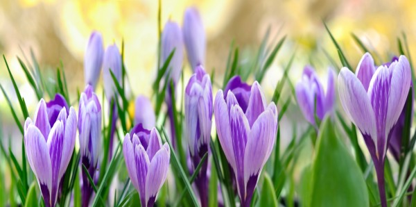 Magnettafel Pinnwand XXL Magnetbild Blumen Krokuss lila
