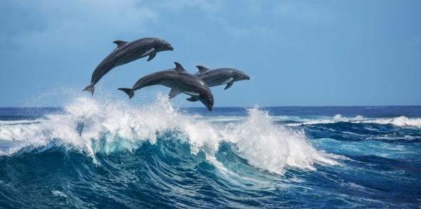 Magnettafel Pinnwand Bild XXL Panorama Delfine Meer