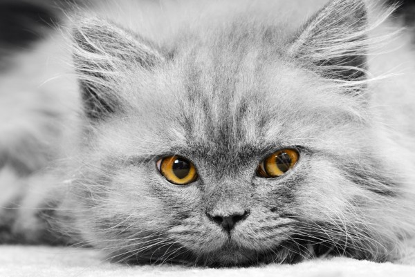 Magnettafel Pinnwand XXL Bild Katze Perser grau
