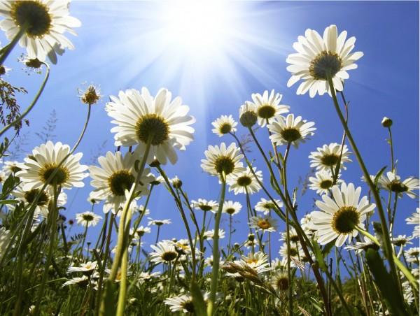 Magnettafel Pinnwand XXL Bild Blumen Margeriten Sommer