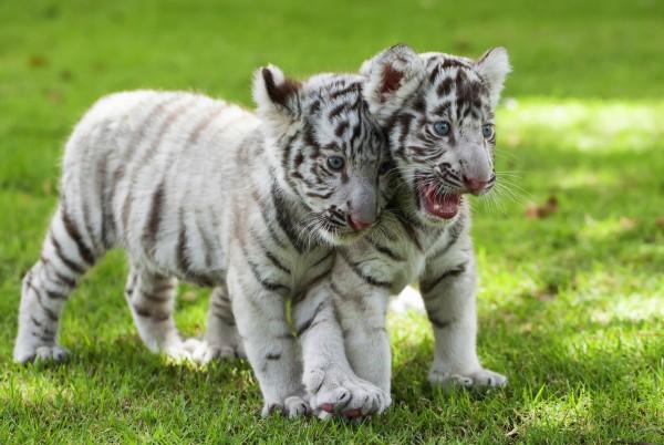 Magnettafel Pinnwand XXL Bild Tiger Tigerbaby weiss