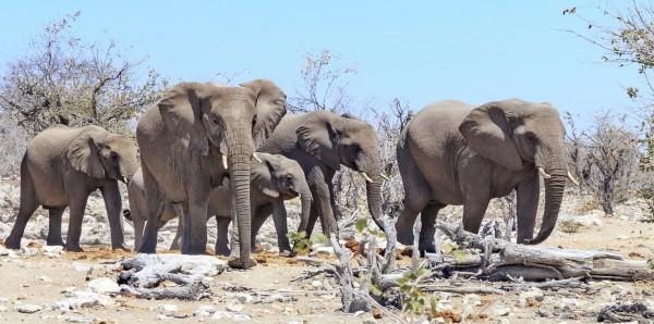 Magnettafel Pinnwand Bild XXL Panorama Elefanten Herde