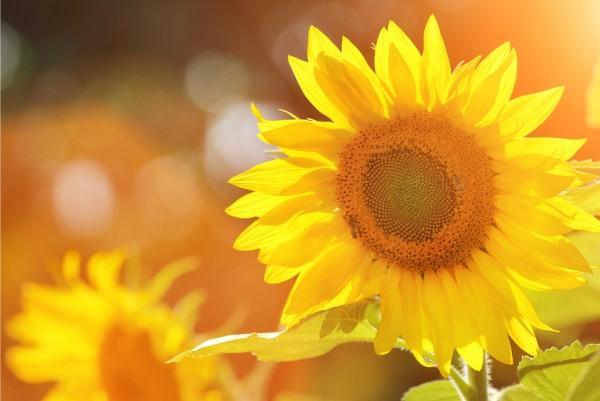 Magnettafel Pinnwand XXL Bild Sonnenblume Sonnenschein