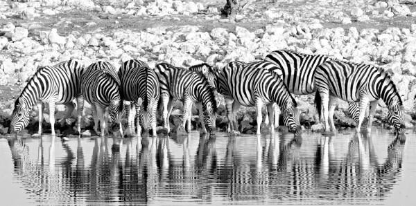 Magnettafel Pinnwand Bild XXL Panorama Zebra Herde