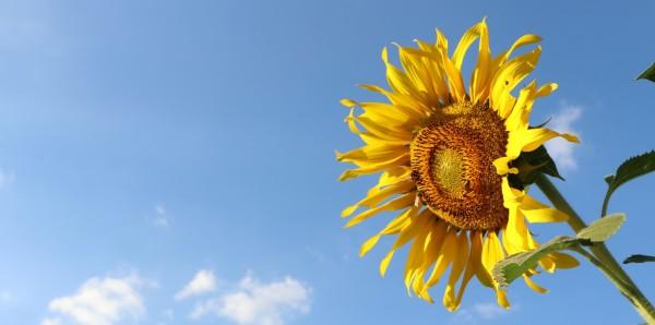 Magnettafel Pinnwand Bild XXL Panorama Natur Sonnenblume Himmel