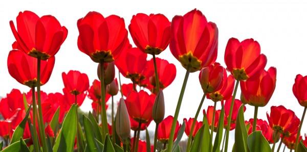 Magnettafel Pinnwand Bild XXL Panorama Tulpen Blumen rot