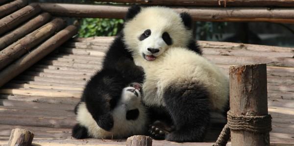 Magnettafel Pinnwand Bild XXL Panorama Pandabären Panda