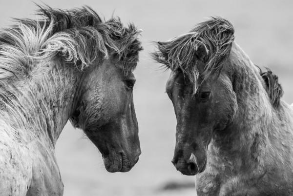 Magnettafel Pinnwand Magnetboard magnetisch Pferd Isländer