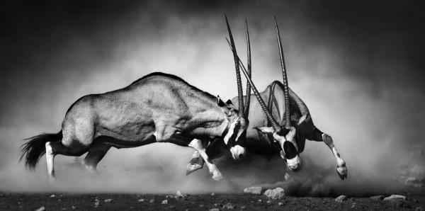 Magnettafel Pinnwand Bild XXL Panorama Antilope Antilopen Kampf