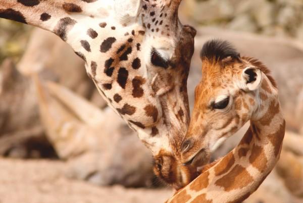 Magnettafel Pinnwand Magnetbild XXL Giraffe Mutter & Kind