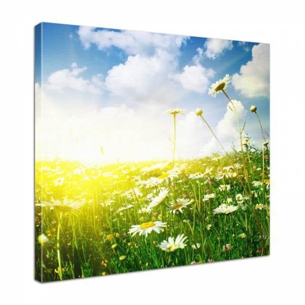Leinwand Bild edel Blumen Margeritenfeld im Sonnenschein