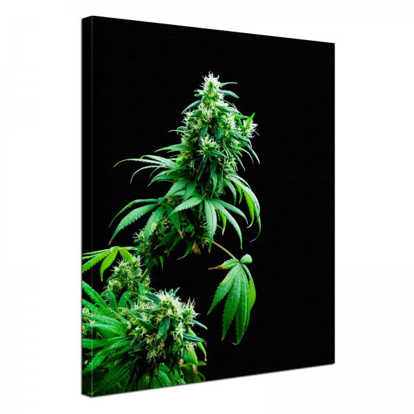 Leinwand Bild edel Cannabis Hanf