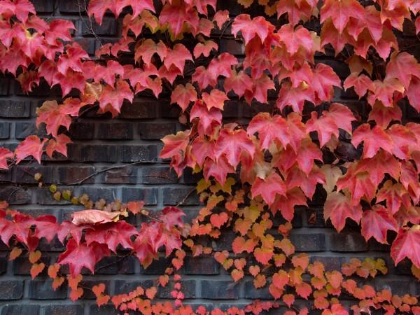 Vlies Tapete Fototapete Natur Mauer Weinblätter Herbst Ranke