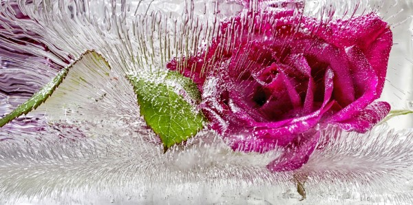 Magnettafel Pinnwand Bild XXL Panorama Rosen Blüte Eis