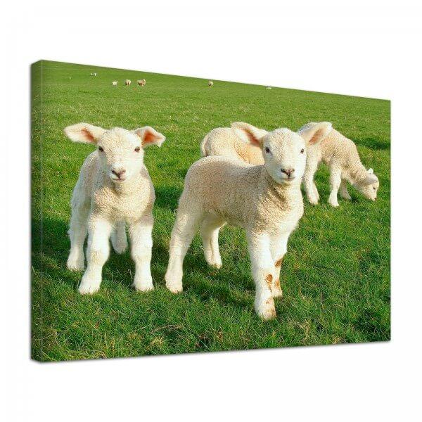 Leinwand Bild edel Tiere Schaf Lamm