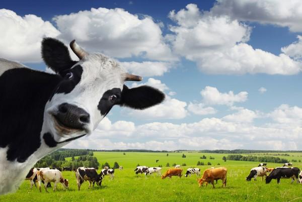 Magnettafel Pinnwand Magnetbild Kuh Herde Holstein Rind