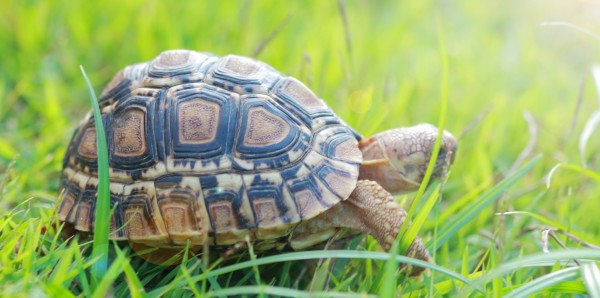 Magnettafel Pinnwand Bild XXL Panorama Schildkröte Wiese Natur