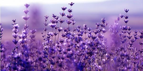 Magnettafel Pinnwand Bild XXL Panorama Kräuter Blüten lila