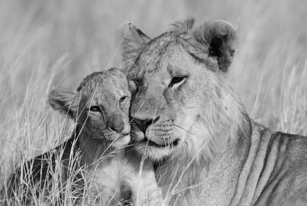 Magnettafel Pinnwand Bild Löwen Löwenmutter Junges