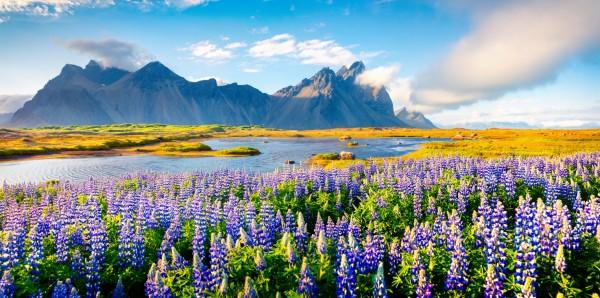 Magnettafel Pinnwand XXL Magnetbild Island Lupinenblüte