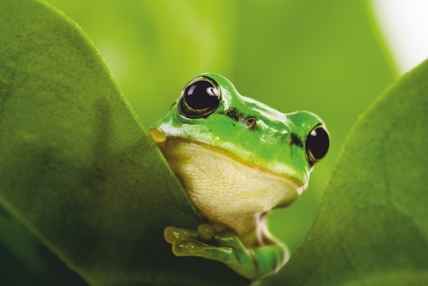 Magnettafel Pinnwand Magnetbild XXL Frosch grün