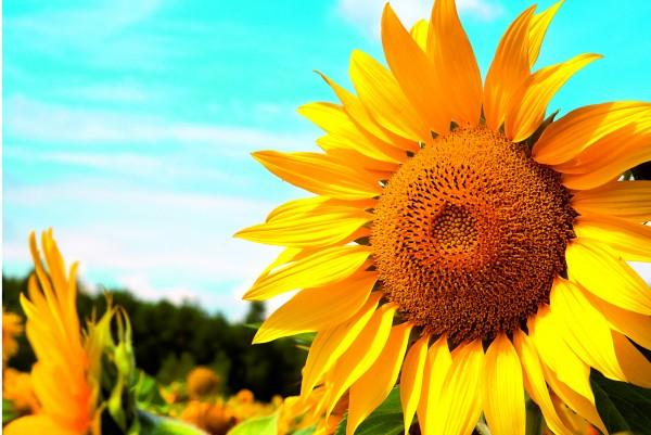Magnettafel Pinnwand XXL Bild Sommer Sonnenblumen Feld