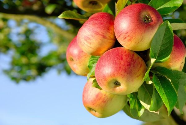 Magnettafel Pinnwand Bild Natur Apfel Äpfel Apfelbaum