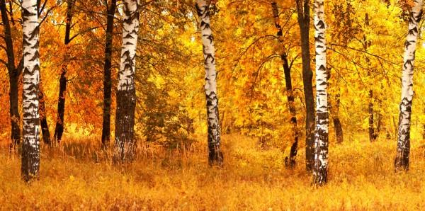 Magnettafel Pinnwand Bild XXL Panorama Birken Wald Herbst