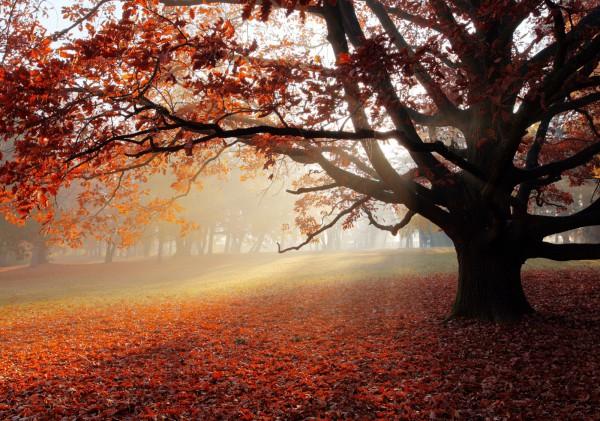 Vlies XXL-Poster Fototapete Natur & Blumen Eiche im Herbstwald