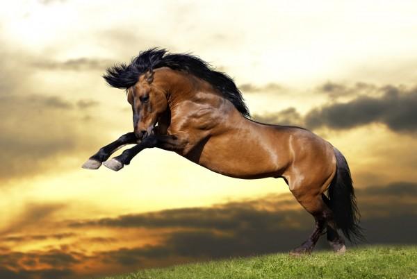 Magnettafel Pinnwand Magnetbild Pferd Wildpferd braun