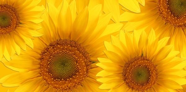 Magnettafel Pinnwand Bild XXL Panorama Blumen Sonnenblumen