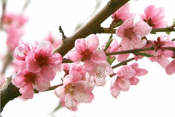 Magnettafel Pinnwand XXL Bild Blumen Kirschblüten Frühling
