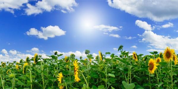Magnettafel Pinnwand XXL Magnetbild Sonnenblumen Feld