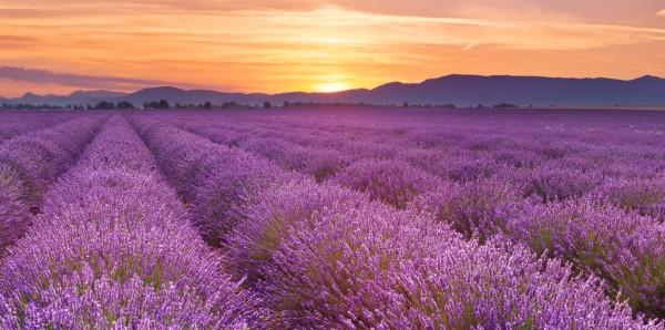 Magnettafel Pinnwand Bild XXL Panorama Lavendel Feld Natur